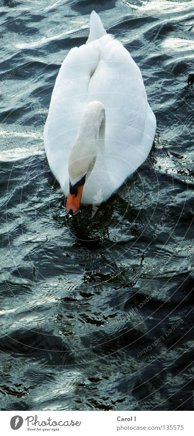 swim high Green Swan Waves Beak Dark Wind White Feather Bird Deep Railroad Lake Switzerland Zugersee Lake Gale Life Passion Storm warning Dangerous Animal