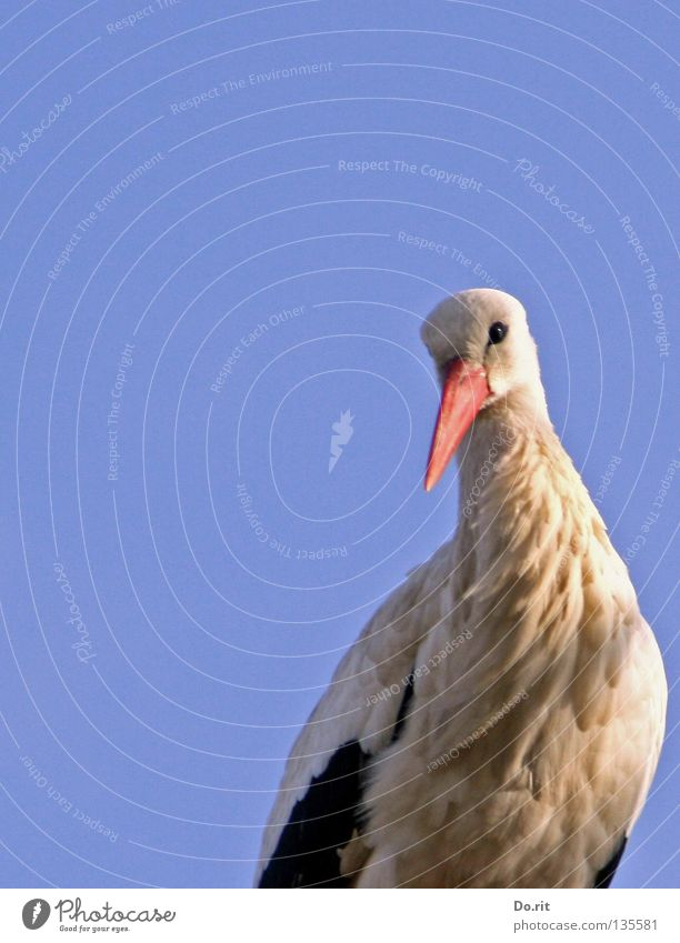 Look who's looking. Stork White Stork Beak Blue sky Sunlit Poultry Feather Large Search Calm Far-off places Birth Spring Africa Bird House Stork walking bird