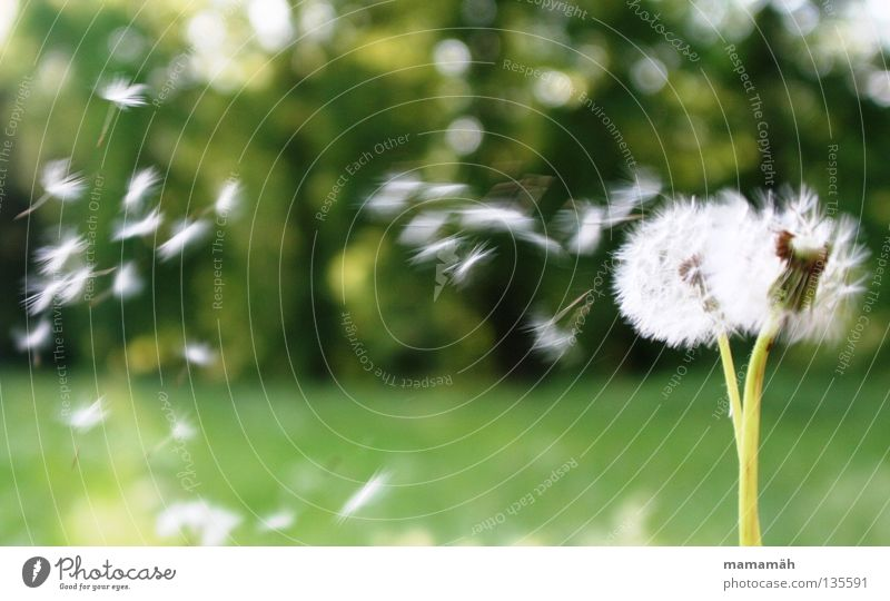 dandelion Colour photo Exterior shot Day Nature Air Sun Spring Beautiful weather Wind Plant Flower Grass Dandelion Meadow Aircraft To fall Flying Green