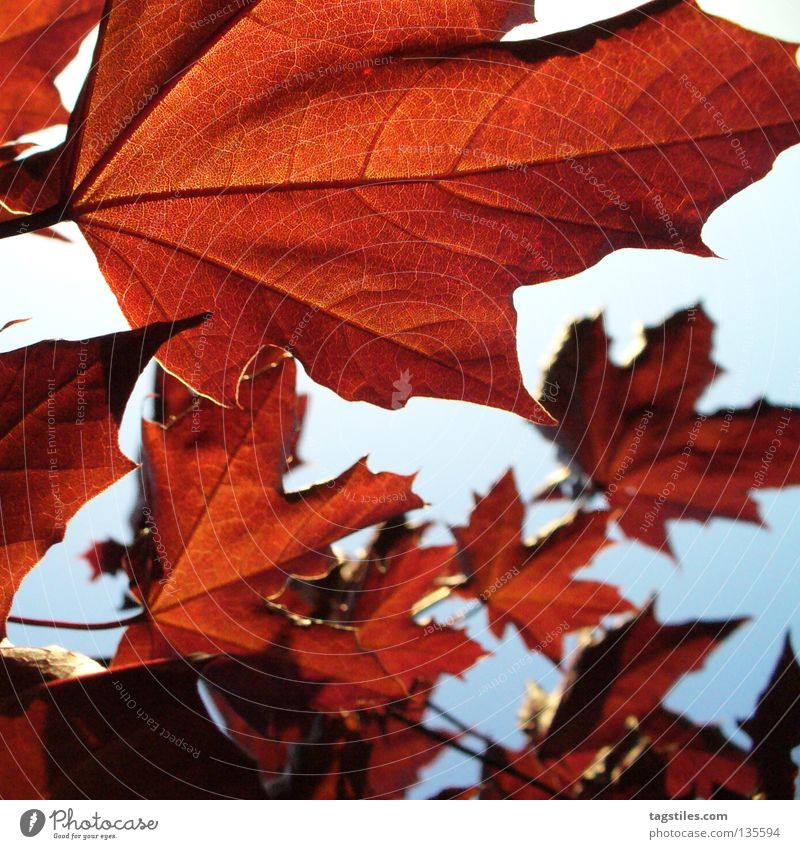 BROWN RED Brown Red Leaf Tree Back-light Rachis Autumn Physics Colour Auburn Warmth