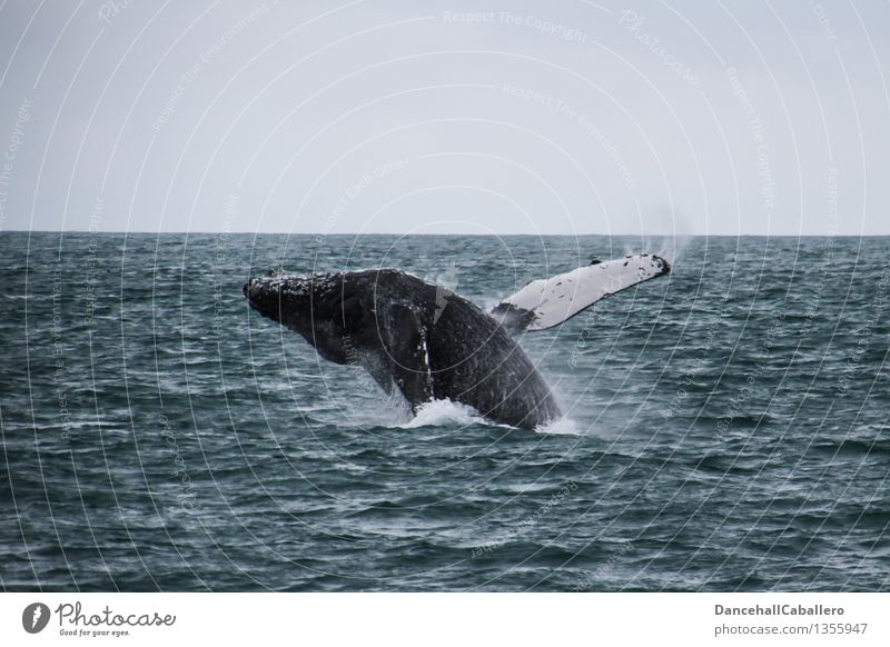 high up I believe I I can fly... Animal Water Horizon Waves Ocean Whale Humpback whale 1 Flying Swimming & Bathing Jump Exceptional Fat Elegant Happiness