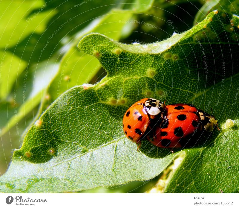 Ladybird love [2/2] Beetle Animal Leaf Nature Green Red Patch Point Together Partner Friendship Infatuation Spring Spring fever In pairs Pair of animals