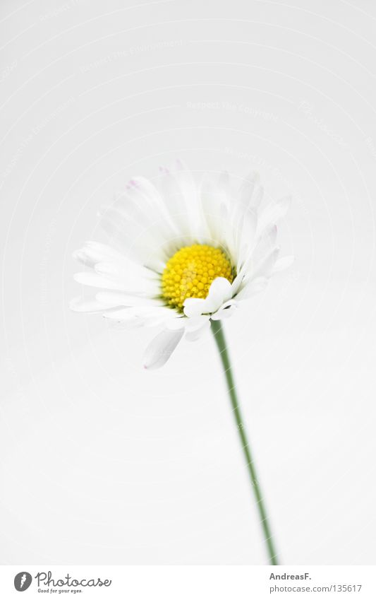 Flower Hand Blossom Small Fingers Delicate Harvest Daisy Pollen Give Mother's Day Graceful