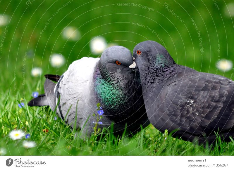 little kisses Animal Wild animal Bird Pigeon 2 Pair of animals Rutting season Touch Kissing city dove pair of pigeons Affection beak Meadow Grass Plumed Coo