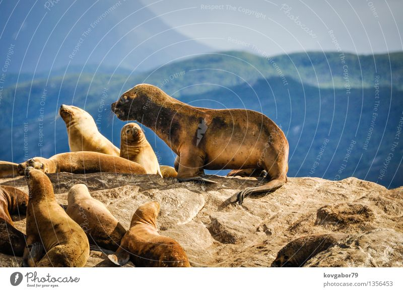 Cute sea on top of a rock, Beagle Channel, Argentina Nature Ocean Landscape Mountain Baby animal Coast Small Rock Lie Large Group of animals Hill