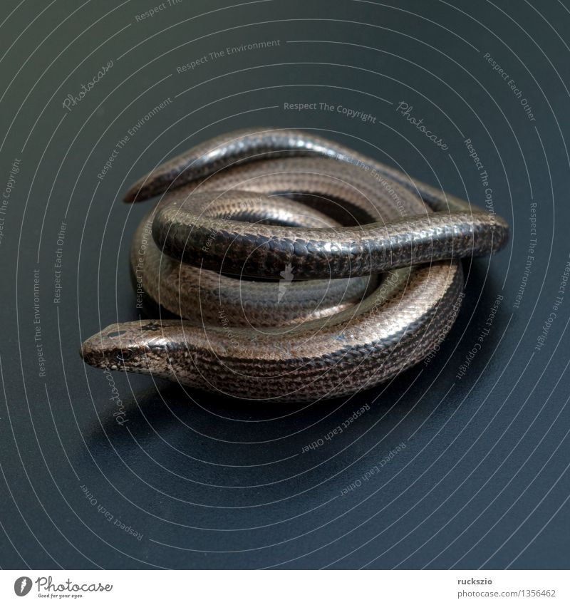 Nature Animal Black Background picture Free Still Life Reptiles Blow Object photography Saurians Neutral Lizards Set free Slow worm