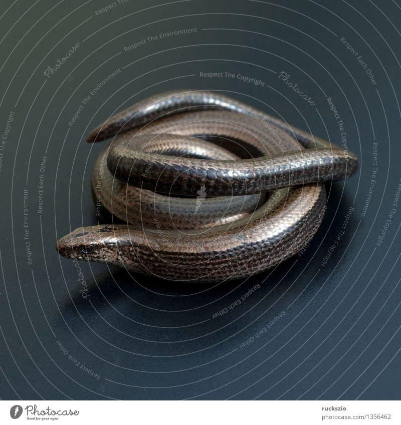 Slow-worm, Anguis, fragilis, lizard, lizard, Nature Animal Free Black Slow worm fragile lizard species Saurians creep Reptiles Lizards Lacertidae scaly creepers