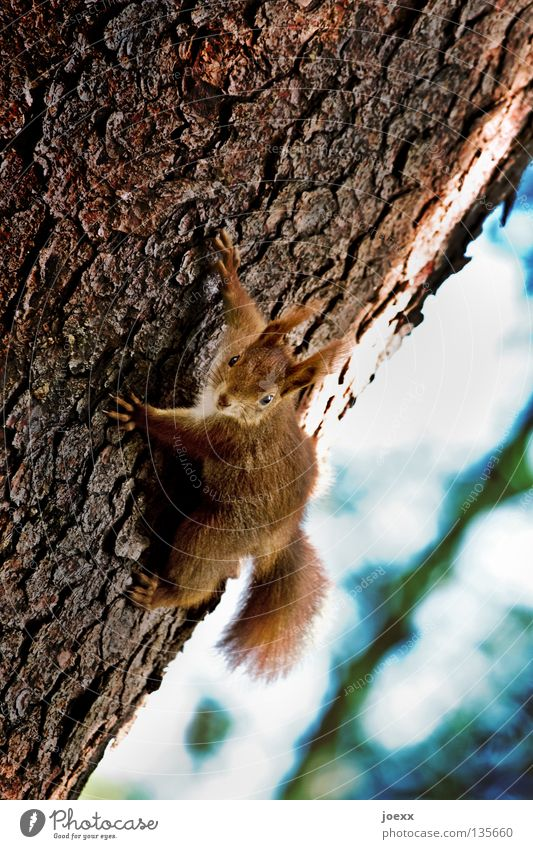 free climber Action Tree Squirrel Tree trunk Brown Bushy Pelt Brave Rodent Cute Paw Tree bark Red Auburn Mammal Timidity Stunt Sweet Animal Meddlesome Funny