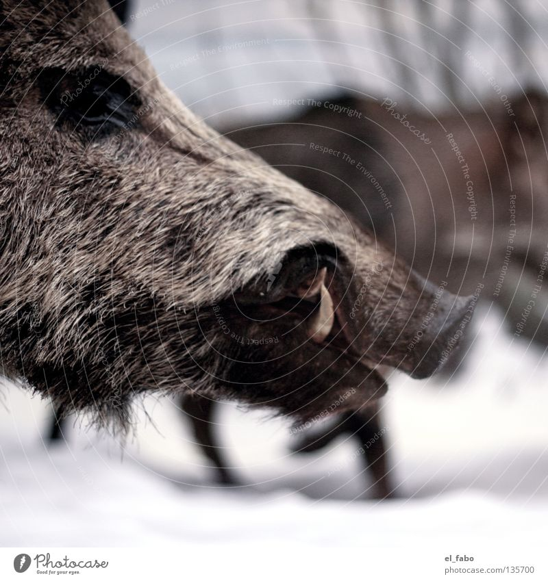Tree Animal Winter Eyes Cold Snow Ice Pelt Set of teeth Hunting Mammal Snout Hunter Sow Wild boar Boar