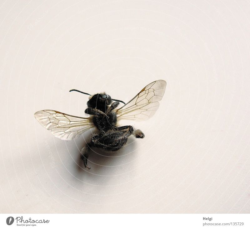 Black Death Legs Brown Lie Wing Transience To fall Insect Bee Transparent Feeler Delicate Macro (Extreme close-up) Honey bee