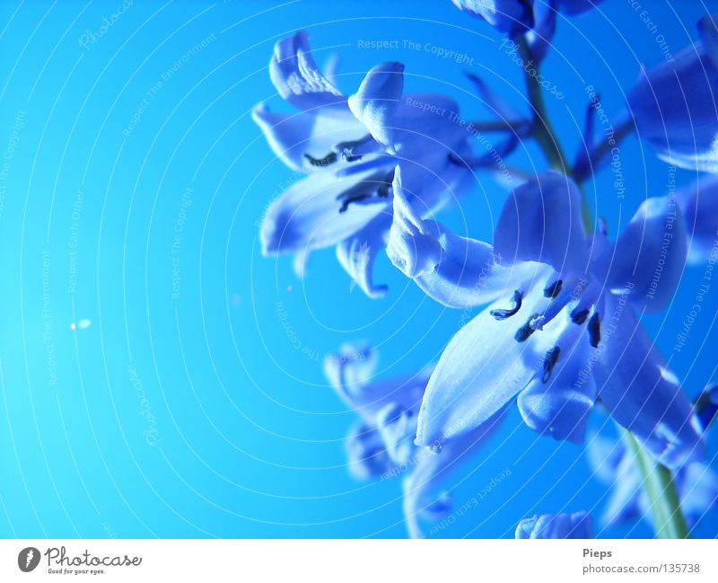 May blue (2) Colour photo Exterior shot Detail Copy Space left Day Back-light Joy Calm Garden Nature Plant Sky Cloudless sky Spring Summer Flower Blossom
