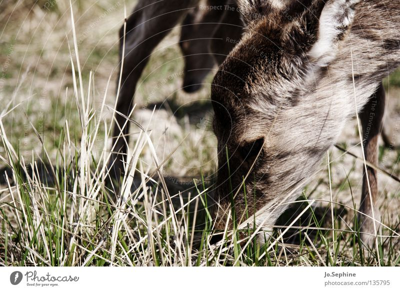 Nature Animal Grass Head Brown Wild animal Dry Pasture To feed Mammal Caution Drought Timidity Badlands Roe deer