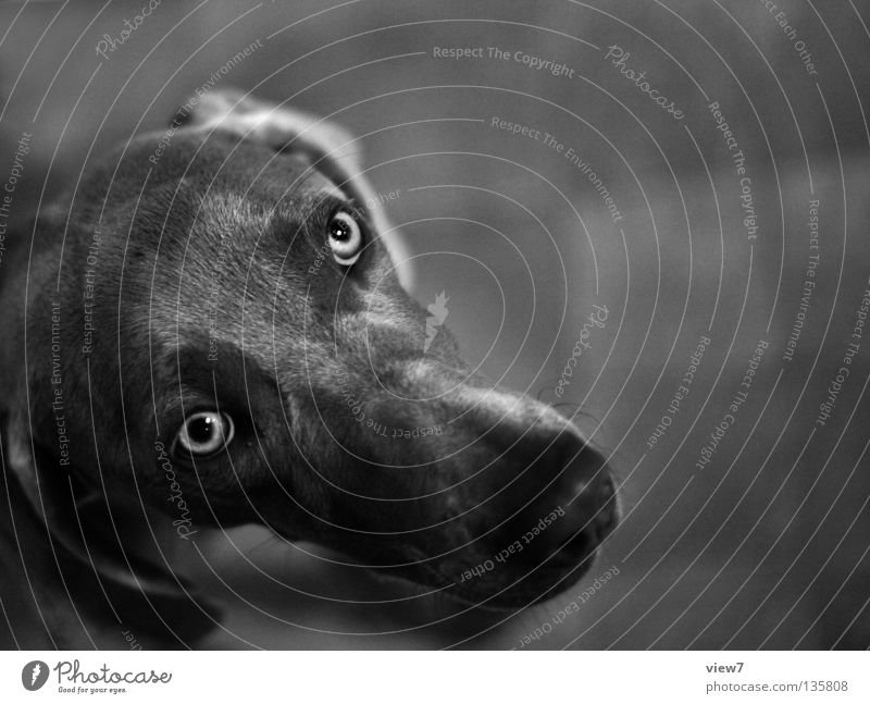 doggie eyes Dog Weimaraner Beg Snout Nose Gray Black Pet Hound Mammal Black & white photo Looking Watchdog Eyes Puppydog eyes Animal face Animal portrait