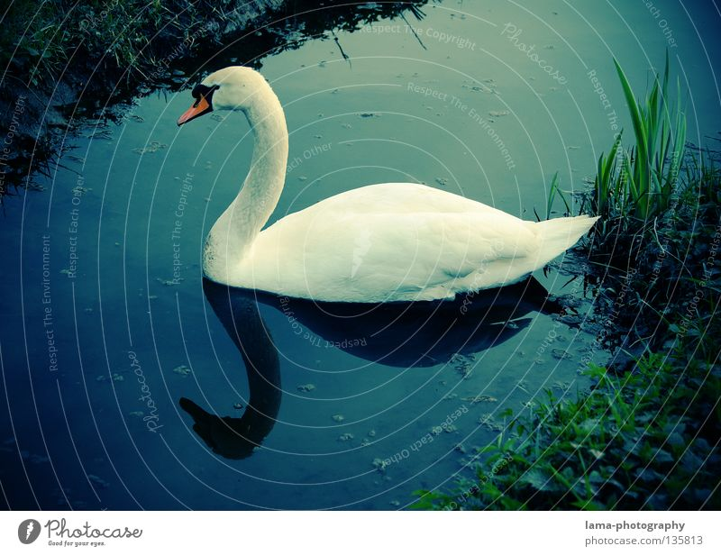 Simple elegance Swan Mute swan Goose Glide Hover Lake Brook Reflection Elegant White Grass Common Reed Relaxation Animal Beak Bird Colour Cygnini Duck Coast
