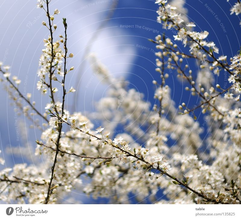 Sky Blue White Sun Flower Joy Warmth Spring Blossom Air Free Bushes To enjoy To go for a walk Fragrance Physics