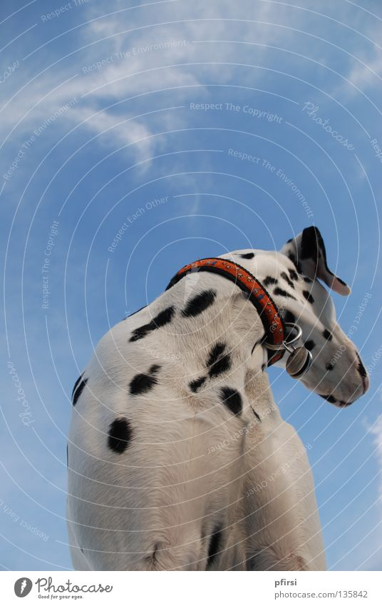 looking away Dog Dalmatian Pet Animal Spotted Black White Neckband Looking Looking away Right Worm's-eye view Clouds Mammal Sky Blue dalmation chien enzo