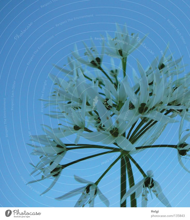 Sky Nature Blue White Green Plant Flower Spring Blossom Healthy Growth Star (Symbol) Point Blossoming Long Thin