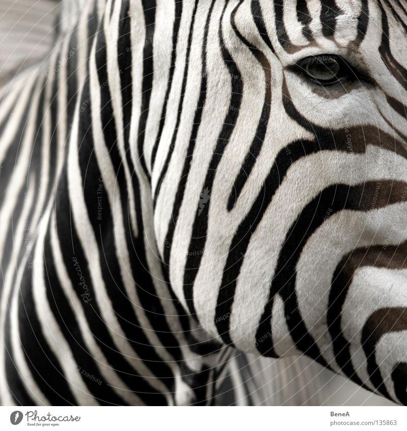 Z Zebra Quagga Odd-toed ungulate Horse Zebra crossing Stripe Camouflage Pattern Black White Eyelash Pelt Africa Steppe Animal Zoo Nature Safari
