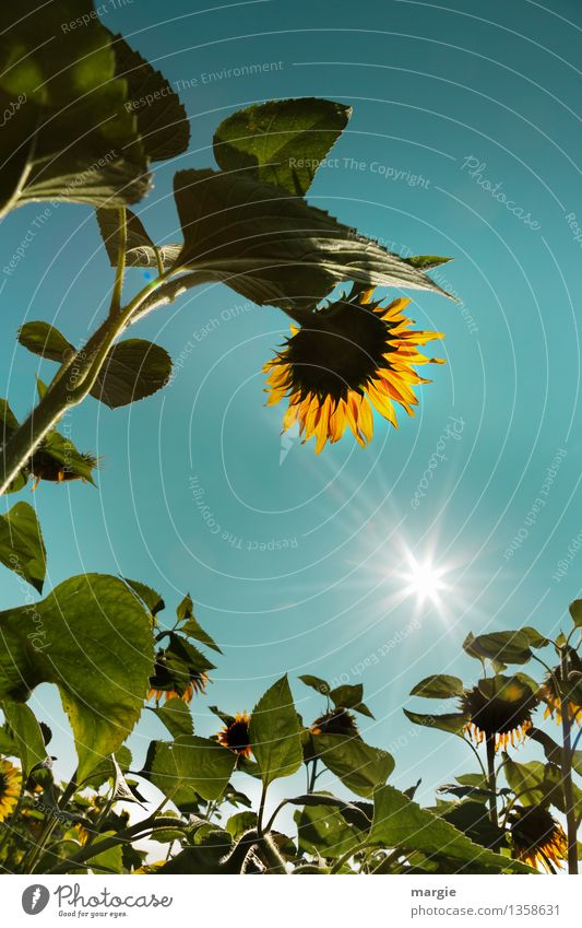 Bow: sunflowers with blue sky and a bright sun Environment Nature Plant Sky Cloudless sky Sun Sunlight Summer Climate Weather Beautiful weather Flower Leaf