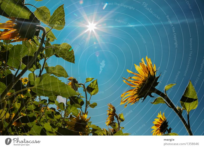 Sunflowers with a blue sky and a bright sun Environment Nature Plant Animal Sky Cloudless sky Sunlight Beautiful weather Flower Leaf Blossom Foliage plant