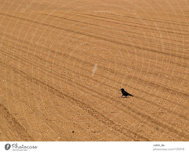 Black Loneliness Bird Field Flying Feather Agriculture Seed Furrow Tractor Sowing Raven birds Skid marks Expel Rook