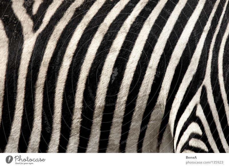 Nature White Vacation & Travel Black Animal Hair and hairstyles Back Horse Africa Stripe Pelt Zoo Wild animal Stomach Mammal Carpet