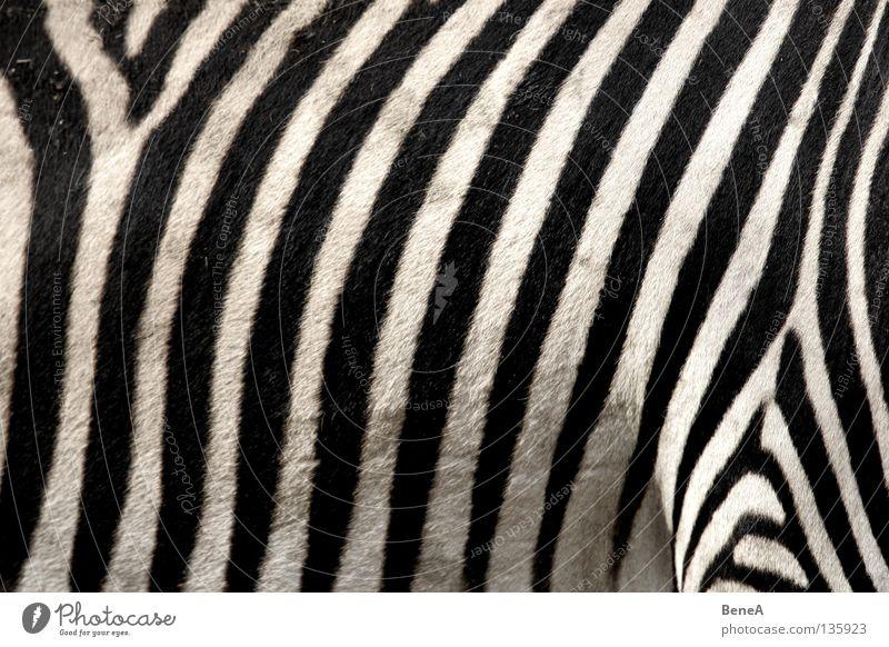 Zz Zebra Quagga Odd-toed ungulate Horse Zebra crossing Stripe Camouflage Pattern Carpet Black White Pelt Africa Steppe Animal Zoo Nature Safari