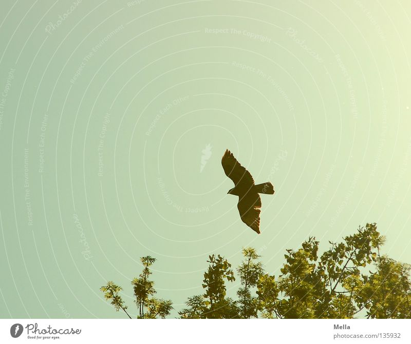 Phoenix Environment Nature Animal Sky Treetop Bird Wing Hawk Common buzzard 1 Flying Free Tall Natural Above Point Blue Green Freedom Colour photo Exterior shot