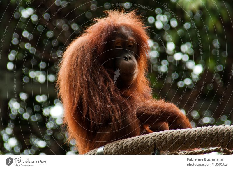 not quite happy Animal Wild animal Animal face Pelt Zoo Monkeys Orang-utan Rope Enclosure Sadness Captured 1 Brown Green Red White Loneliness Colour photo