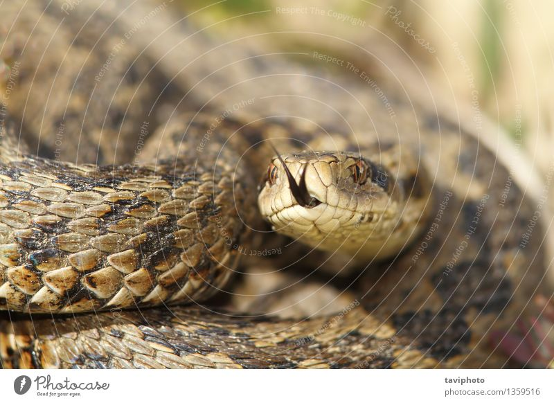 macro image of a meadow viper Nature Beautiful Animal Meadow Brown Wild Fear Dangerous Europe Ground Living thing European Poison Reptiles Snake Biology