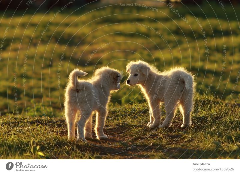 shepherd puppies playing in sunset light Joy Happy Beautiful Playing Summer Baby Friendship Nature Animal Grass Park Pet Dog Friendliness Together Small Funny