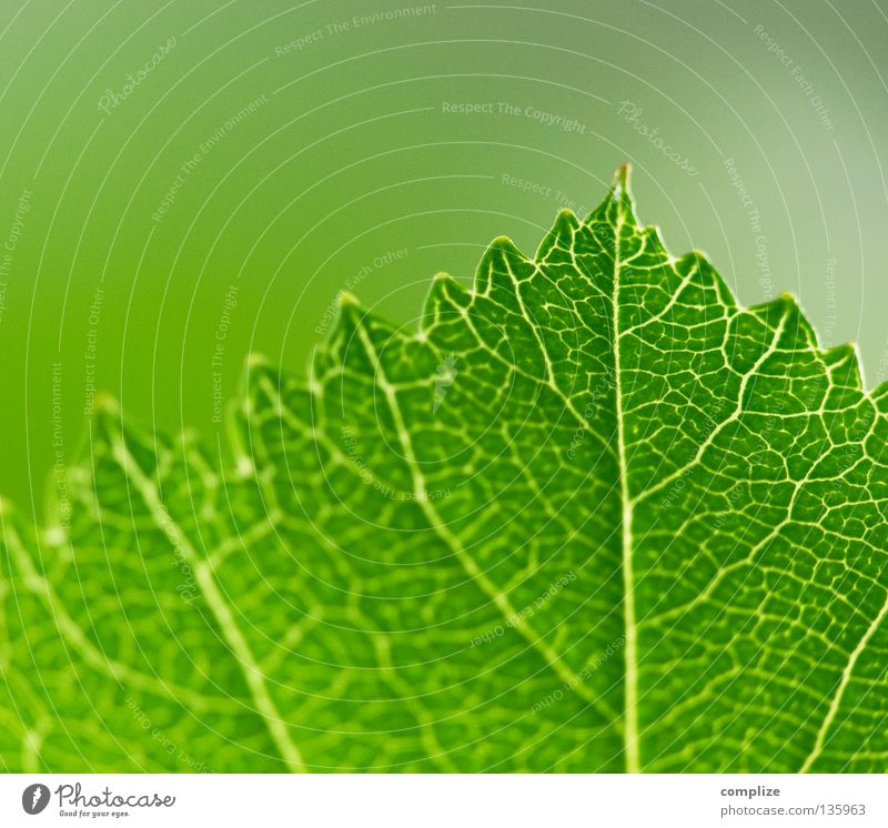 leaf Leaf Vessel Green Corner Worm Plant Tree Bushes Rachis Sky blue Vista Photosynthesis Synthesis Verdant Deciduous tree Summer Spring Equal Nature