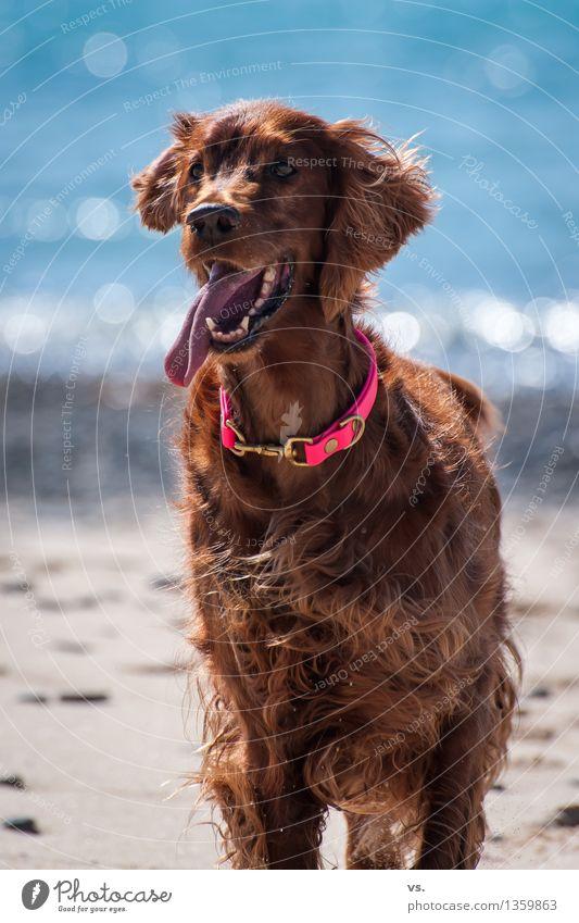 beach setter Animal Pet Dog Animal face Paw 1 Swimming & Bathing Hunting Running Playing Wait Friendliness Happiness Fresh Healthy Happy Joy