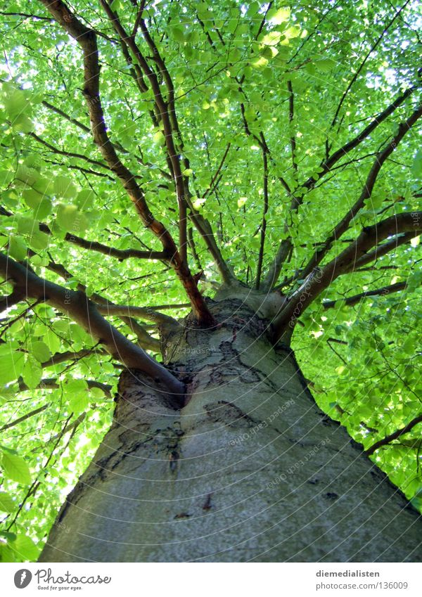 pedigree Tree Beech tree Green Leaf Forest Tree bark Worm's-eye view Tree trunk Tall Nature Branch
