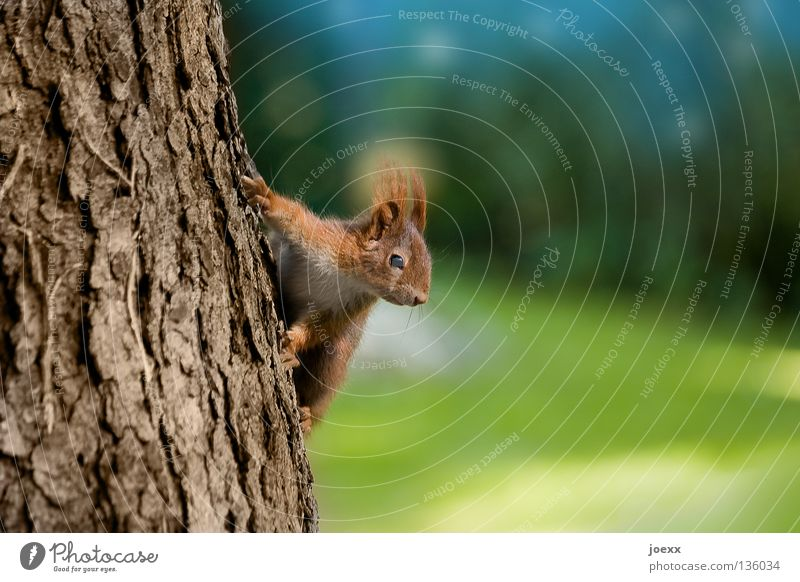 poser Action Tree Squirrel Tree trunk Brown Bushy Pelt Brave Rodent Cute Paw Tree bark Red Auburn Mammal Timidity Stunt Sweet Animal Blur Meddlesome Funny