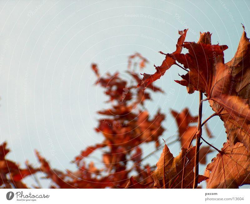 autumn *3 Autumn Leaf Red Tree Autumnal Sky Detail