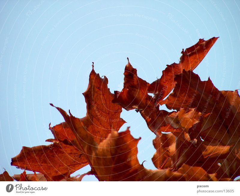 autumn *2 Autumn Leaf Red Tree Autumnal Sky Detail