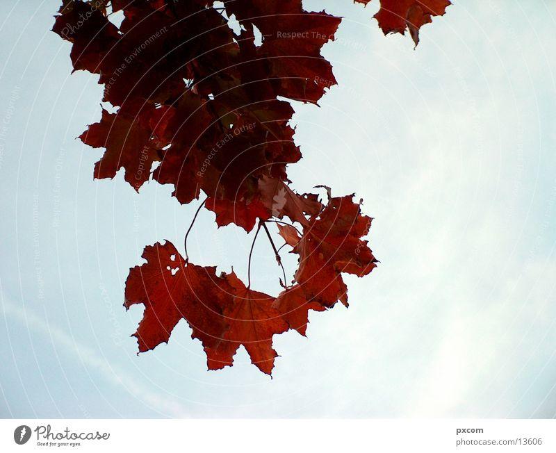 autumn *1 Autumn Leaf Red Tree Autumnal Sky Detail