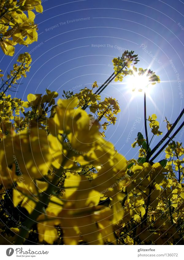 solar oil Canola Field Raw materials and fuels Spring Sun Farm Agriculture Bio-diesel Yellow Odor Sunrise Blossom Animal Industry Oil Sky Nature