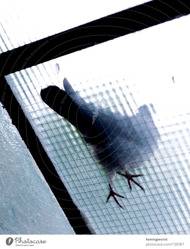 Better a pigeon on the roof than anything else. Pigeon Frosted glass Worm's-eye view Bird Balcony Glass roof Transience Blue Feet Feather Flying