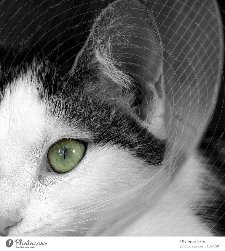 The green eye Cat Animal Pelt Mammal Black & white photo Ear