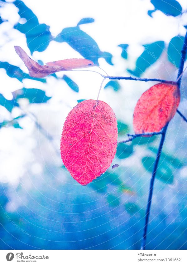 Autumn beautiful colorful Nature Plant Beautiful weather Tree Leaf Forest Esthetic Fresh Blue Red Moody Attentive Serene Calm Apocalyptic sentiment Colour Idyll