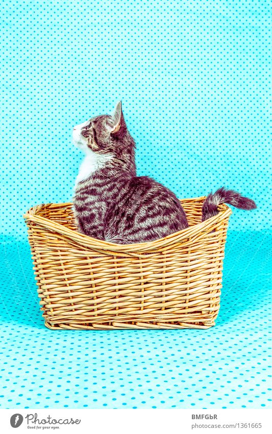 Cat Blue Beautiful Joy Animal Baby animal Life Funny Gray Sit Happiness Observe Retro Cute Curiosity Point