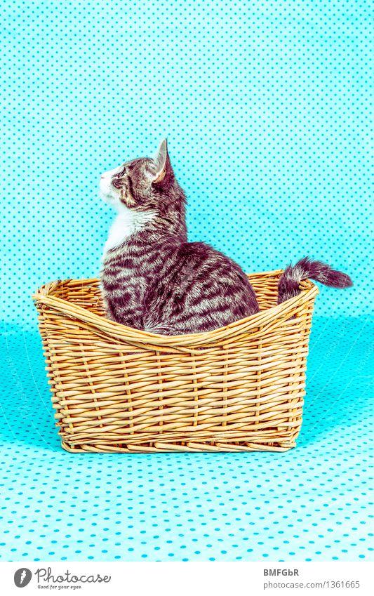 cat posing Animal Pet Cat Pelt 1 Baby animal Basket Observe Sit Happiness Hip & trendy Beautiful Kitsch Funny Curiosity Cute Positive Retro Blue Joy Life