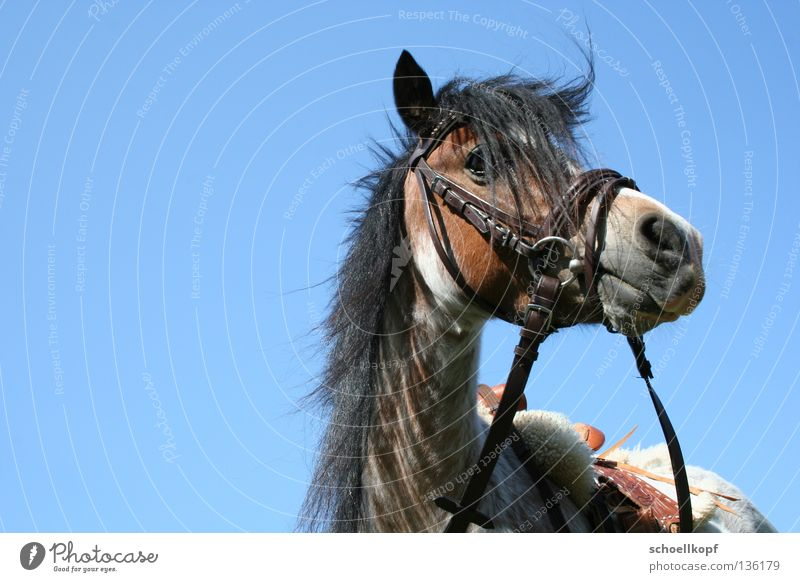 Pony in the sky Horse Bridle Mane Isolated Image Mammal Equestrian sports Bangs small horse Sky Saddle