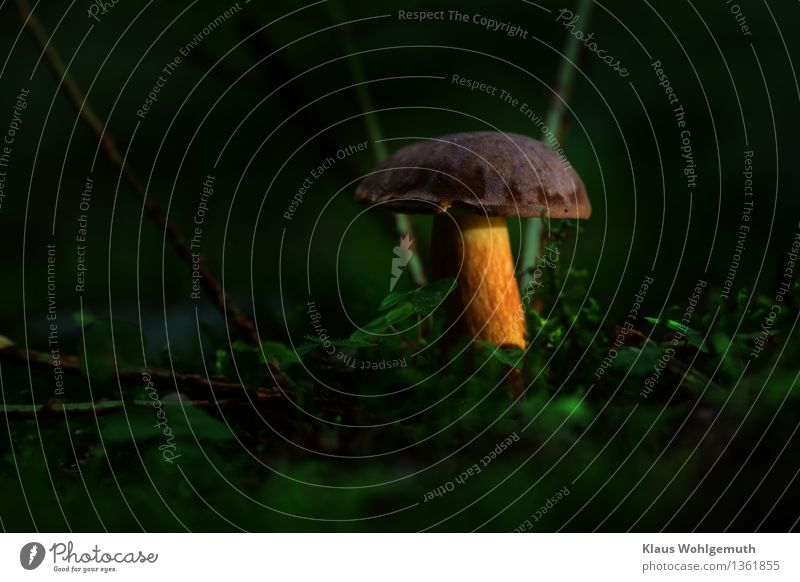 Object of desire Food Mushroom Mushroom cap Cep Environment Nature Plant Moss Cloverleaf Forest Decoration Stand Growth Wait Esthetic Brown Yellow Gold Green