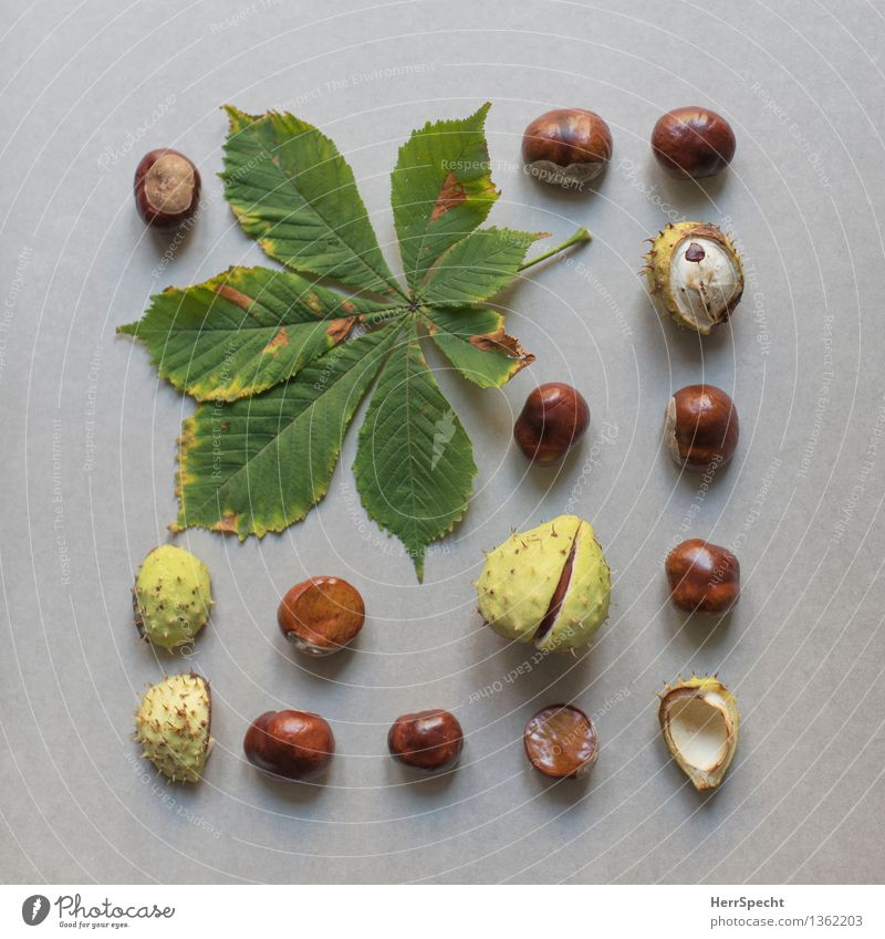 Chestnut Plant Leaf Collection Natural Brown Green Super Still Life Nature Harvest Chestnut leaf Autumn Autumnal Classification knolling Colour photo