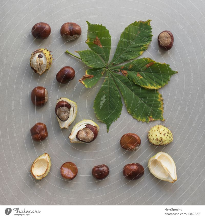 seasonal Autumn Plant Leaf Foliage plant Glittering Natural Round Brown Green Chestnut Chestnut leaf Fruit Seed Sheath Still Life Classification Collection
