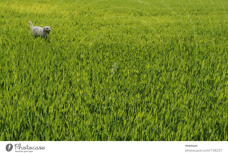 I'm ready! I'm ready! SECOND Labrador Wheatfield Field Grass Meadow Dog Spring Green Animal Bright green Expectation Agriculture Mammal bright Labrador