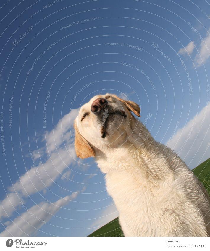 carpe diem Clouds Sky blue Blonde Dog Labrador Summer Sublime Majestic Calm Goodness Serene Endurance Patient Trust Animal Soft Snout Cute Dog's head Nose